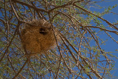 Weaverbird nest in acacia tree Stock Images