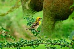 Weaverbird oder Ploceus Philippinus-Vogel, der außer Retorte stillsteht, formten Nester lizenzfreies stockfoto
