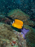 Weavers Butterflyfish - Chaetodon wiebeli Stock Photos
