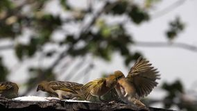 Weavers at the Feeder, in flight, Lake Baringo in Kenya,. Slow Motion stock video footage