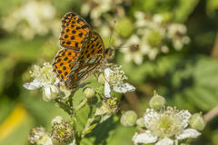 Weavers fritillary (Issoria lathonia). A weavers fritillary is sitting on a white blossom Royalty Free Stock Photos