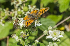 Weavers fritillary (Issoria lathonia). A weavers fritillary is sitting on whithe blossom Royalty Free Stock Image