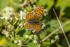 Weavers fritillary (Issoria lathonia). A weavers fritillary on a white blossom Stock Images