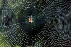 Web. Spider web with predator and morning dew Stock Image
