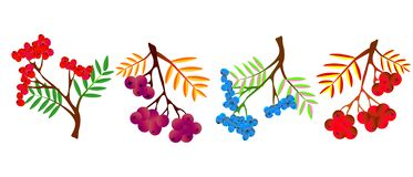 Vector illustration of Rowan or Rowan-berry. vector illustration