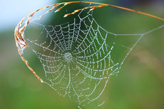 Web. Cobwebs in the morning dew Royalty Free Stock Photos