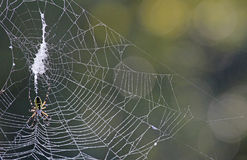 Web with Banana Spider Royalty Free Stock Images