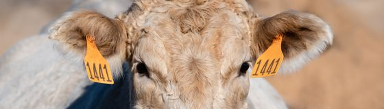 Web banner of close up Charolais face royalty free stock image