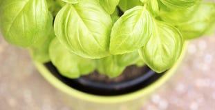 Fresh green basil leaves banner Royalty Free Stock Photography