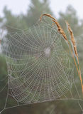 Web on a blade of grass. In the forest Stock Photo