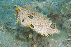 Web Burrfish-Chilomycterus antillarum Royalty Free Stock Photo