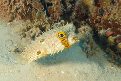 Web Burrfish Swimming Next to a Patch of Coral Reef Royalty Free Stock Photo