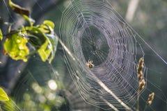 Web con la araña Foto de archivo libre de regalías