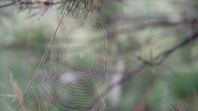 Web de araña con el rocío que se sacude en el viento en un cierre de niebla de la mañana para arriba, pájaros que cantan, usignuo almacen de metraje de vídeo