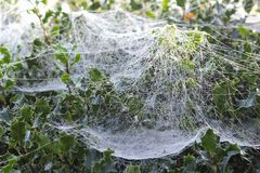 Web de araña con las gotas de rocío en el amanecer en un árbol de acebo Fotos de archivo