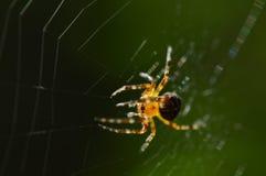 Web de araña con una araña teniendo en cuenta la luz del sol de la mañana Imágenes de archivo libres de regalías