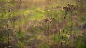 Web de araña con una araña grande en las flores secas del tansy en los rayos del sol poniente metrajes