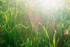 Web de araña en descensos del rocío y de la amapola roja Fotografía de archivo libre de regalías
