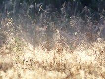 Web de araña en los rayos de Sunny Meadow In Dew With del sol naciente Telaraña en un prado en una mañana de niebla, Shooted con  Imágenes de archivo libres de regalías