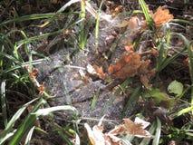 Web de araña en un carex Fotografía de archivo libre de regalías