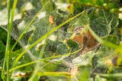 Web de araña entre las hojas verdes Foto de archivo