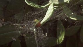 Web de araña indica del higo chumbo de los ficus almacen de metraje de vídeo