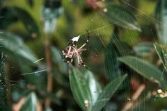 Web de aranha Imagem de Stock