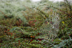 Web de aranha com gotas no arbusto no outono fotos de stock