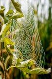 Web de aranha com gotas de orvalho da manhã fotos de stock royalty free