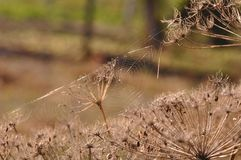 Web de aranha na planta secada fotos de stock