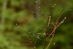 Web de aranha nas gotas da chuva de mola em um ramo com botões verdes Imagens de Stock Royalty Free