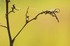 A Web de aranha no galho seco fotografia de stock