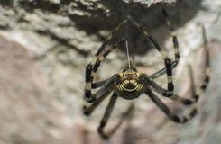 Web de confecção de malhas da aranha da vespa Fotografia de Stock