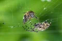 Web de la abeja y de araña macro, profundidad del campo baja Imagen de archivo libre de regalías