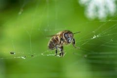 Web de la abeja y de araña macro, profundidad del campo baja Fotos de archivo libres de regalías