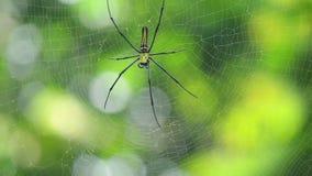 Web de ondulation d'araignée dans le sauvage clips vidéos