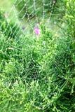 Web de rosée Photos stock