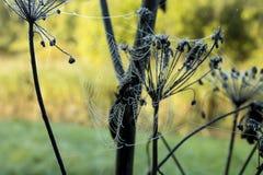 Web de Spuder con descensos de rocío en la planta seca Imagenes de archivo