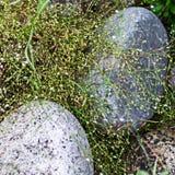 Web dei fiori bianchi di fioritura e dell'erba verde sopra le pietre Immagine Stock