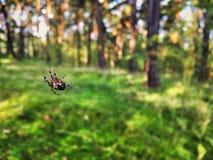 Web del ` s del ragno in una foresta Immagini Stock Libere da Diritti
