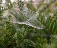 Web della pannocchia con rugiada Fotografia Stock Libera da Diritti
