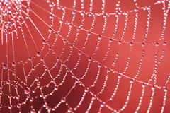 Web with dew drops Stock Image