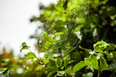 Web with dew drops in park. Royalty Free Stock Images
