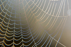 Web in dew. Early morning at dawn, spider webs and dew Stock Photos