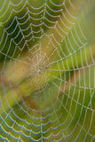 Web in dew. Early morning at dawn, spider webs and dew Royalty Free Stock Photo