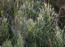 Web di ragni con le gocce di acqua sul prato Fotografie Stock