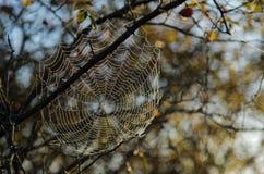 Web di ragno con le gocce di rugiada Immagini Stock