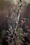 Web di ragno con le gocce di rugiada Immagini Stock Libere da Diritti