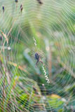 Web di ragno del primo piano Fotografia Stock Libera da Diritti