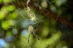 Web di tessitura del ragno fra gli alberi Fotografie Stock